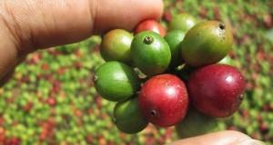 Kaffee im Fairtrade gehandelt